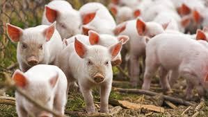 Anunţ! Pestă porcină Africană